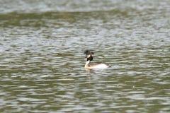 Natación con cresta del crebe en el lago Fotografía de archivo