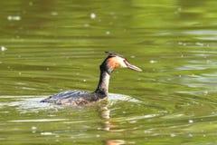 Natación con cresta del crebe en el lago Imágenes de archivo libres de regalías