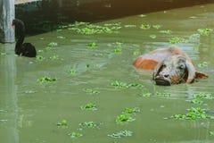 Natación de Albino Buffalo y del cisne negro en el pantano en el pueblo tailandés de la protección del búfalo foto de archivo