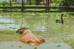 Natación de Albino Buffalo y del cisne negro en el pantano en el pueblo tailandés de la protección del búfalo imágenes de archivo libres de regalías
