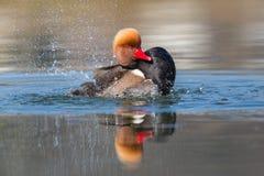 Natación de cresta roja masculina del rufina de Netta del pato de mar, pluming, splas Fotos de archivo