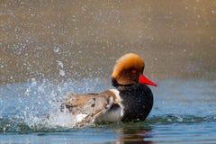 Natación de cresta roja masculina del rufina de Netta del pato de mar, pluming, splas Fotografía de archivo