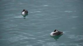 Natación de dos patos en el Mar Negro en Georgia metrajes