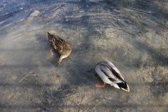 Natación de dos patos en la charca fotografía de archivo