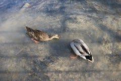 Natación de dos patos en la charca imagenes de archivo