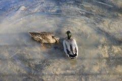 Natación de dos patos en la charca fotografía de archivo libre de regalías