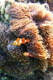 Natación de Fish del payaso de la anémona de la anémona Foto de archivo libre de regalías