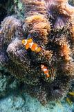 Natación de Fish del payaso de la anémona de la anémona Fotografía de archivo libre de regalías