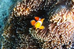 Natación de Fish del payaso de la anémona de la anémona Imagen de archivo libre de regalías