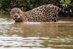 Natación de Jaguar Imagenes de archivo