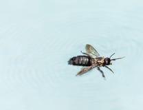 Natación de la abeja de carpintero en piscina Imagenes de archivo