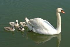 Natación de la familia del cisne con el cisne de la madre Foto de archivo libre de regalías
