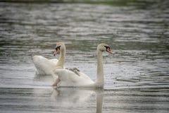 Natación de la familia del cisne en una charca Fotografía de archivo libre de regalías
