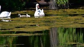 Natación de la familia del cisne mudo en la charca almacen de metraje de vídeo