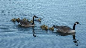 Natación de la familia del ganso de Canadá Imagenes de archivo
