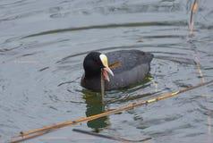 Natación de la focha en el lago imagen de archivo