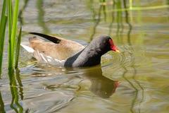 Natación de la polla de agua en el agua fotos de archivo