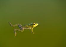 Natación de la rana foto de archivo libre de regalías