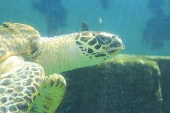 Natación de la tortuga Imagen de archivo