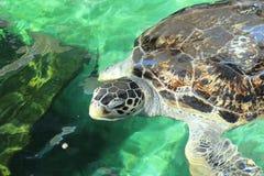 Natación de la tortuga Imagenes de archivo