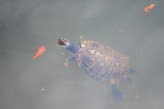 Natación de la tortuga fotografía de archivo libre de regalías