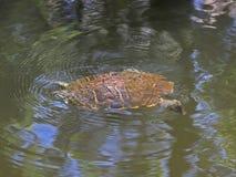 Natación de la tortuga Imágenes de archivo libres de regalías