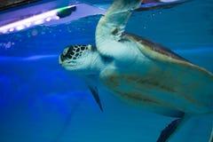 Natación de la tortuga de mar fotos de archivo