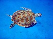 Natación de la tortuga de mar imagen de archivo