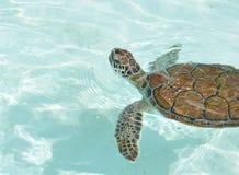 Natación de la tortuga de mar del bebé Imágenes de archivo libres de regalías