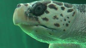 Natación de la tortuga de mar en acuario almacen de video
