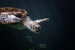Natación de la tortuga de mar en acuario foto de archivo libre de regalías