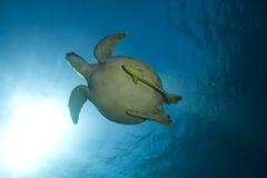 Natación de la tortuga de mar subacuática fotos de archivo