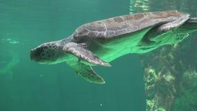Natación de la tortuga de mar subacuática almacen de metraje de vídeo