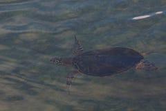 Natación de la tortuga de mar subacuática Foto de archivo libre de regalías