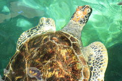 Natación de la tortuga de mar verde Imágenes de archivo libres de regalías