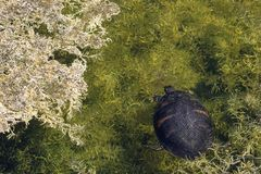 Natación de la tortuga en el pantano de la Florida imagenes de archivo