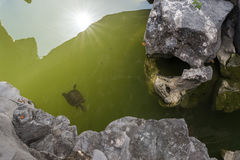Natación de la tortuga en la charca Imagenes de archivo