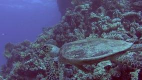 Natación de la tortuga de hawksbill del Mar Rojo y alimentación en la pared tropical del arrecife de coral almacen de metraje de vídeo