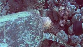 Natación de la tortuga de hawksbill del Mar Rojo y alimentación en la pared tropical del arrecife de coral almacen de video