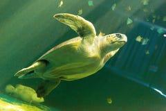 Natación de la tortuga de mar imagen de archivo libre de regalías