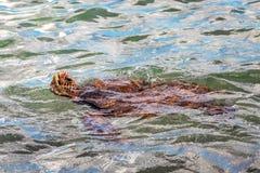 Natación de la tortuga de mar cerca de Maui, Hawaii imagen de archivo libre de regalías