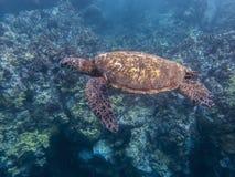 Natación de la tortuga de mar verde sobre ángulo lateral del filón imagen de archivo libre de regalías