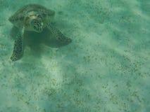 Natación de la tortuga verde Fotos de archivo libres de regalías