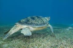 Natación de la tortuga verde del varón adulto sobre seagrass. Imágenes de archivo libres de regalías