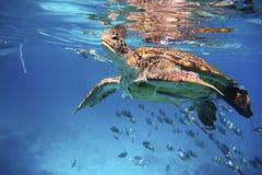 Natación de la tortuga verde en un océano azul Foto de archivo