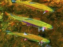 Natación de la trucha arco iris contra corriente del río fotos de archivo libres de regalías