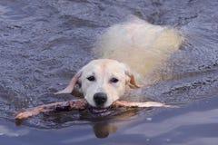 Natación de Labrador con el palillo Fotografía de archivo libre de regalías