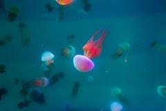 Natación de las medusas en acuario imágenes de archivo libres de regalías