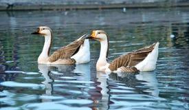 Natación de los pares del ganso en el agua Imagen de archivo