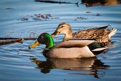 Natación de los pares del pato silvestre en el agua Fotografía de archivo